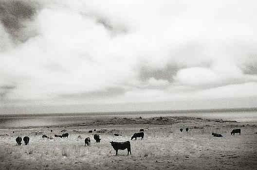 Big Sur Cows by Ari Jacobs