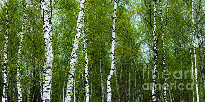 Birch Forest by Hannes Cmarits