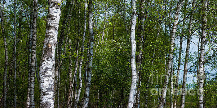 Birch Forest In The Summer by Hannes Cmarits