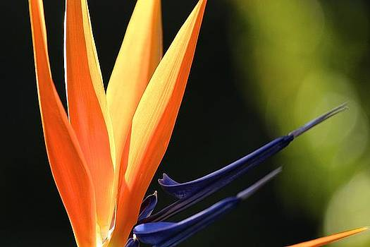 Bird of Paradise by Kevin Itsaboutvision