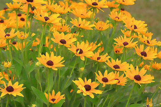 Black Eyed Susans by David Simons