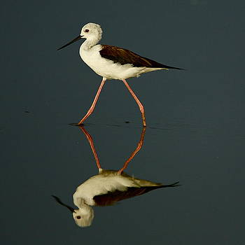 Black-necked Stilt by Bruce Colin