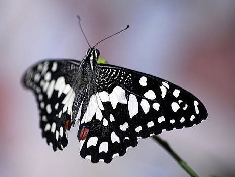 black white spotted Butterfly insect by Bhupendra Singh