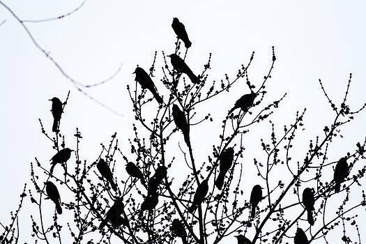 Blackbird by Daniel Rooney