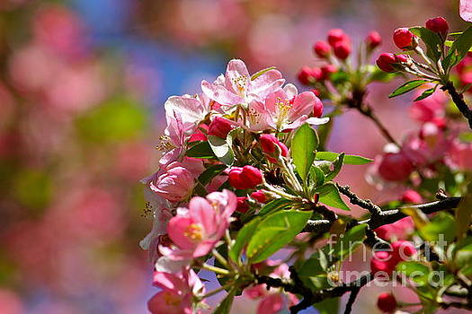 Blossoms  by Jay Nodianos