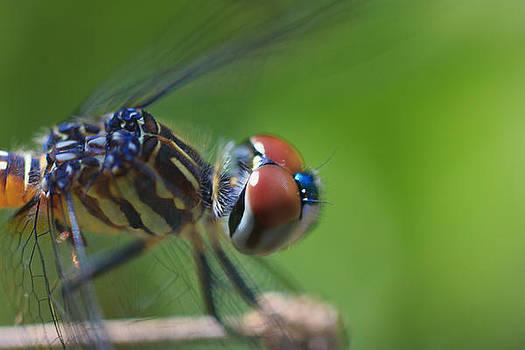 Blue Dasher Close-Up by Bob Decker