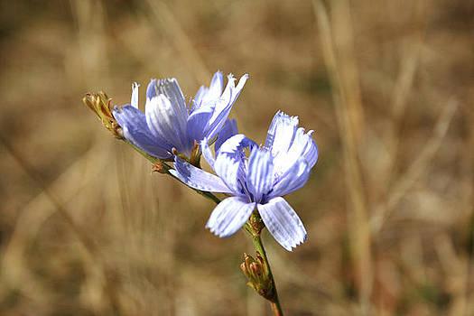 Blue Flowers by Cora Brum