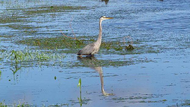 Blue Heron by Pat Lopez