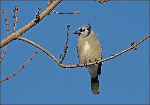 Blue Jay by Karen Harper