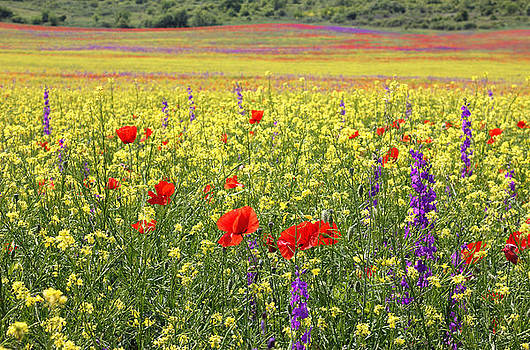 Bright Rapeseed field with poppies and Delphiniums by Kiril Stanchev