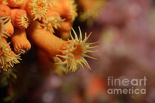 Brightly colored Yellow Encrusting Anemone by Sami Sarkis