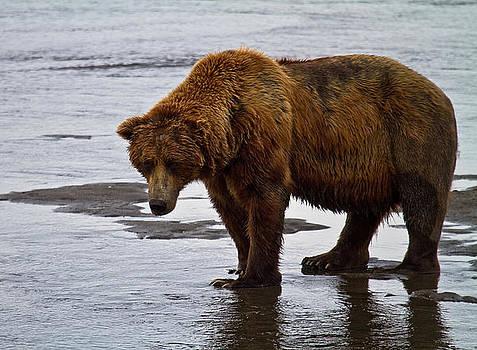 Brown Bear by Craig Brown
