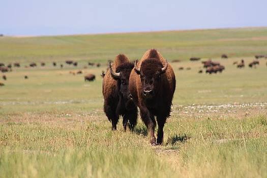 Buffalo by Daniel Rooney