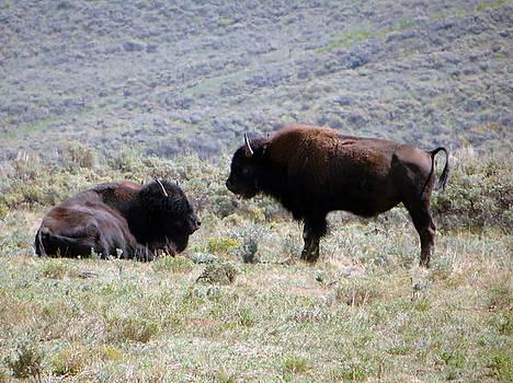 Buffalo on the Range by Margaret  Slaugh