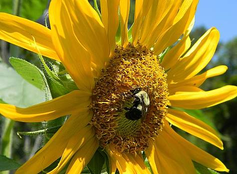 Busy Bee in a Sunflower by Joanne Askew