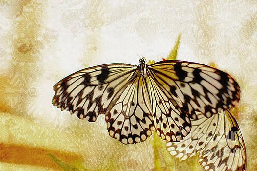 Butterflies on Lace by Floyd Menezes