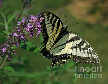 Butterfly by Kathy DesJardins