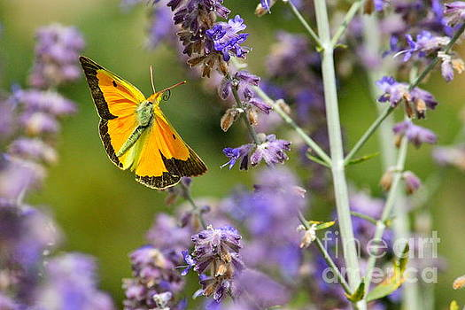 Butterflying  by Jay Nodianos