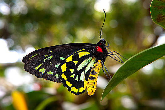 Cairns Birdwing Butterfly by James O Thompson