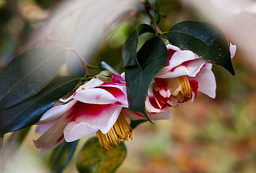 Camellias by Michael Ray