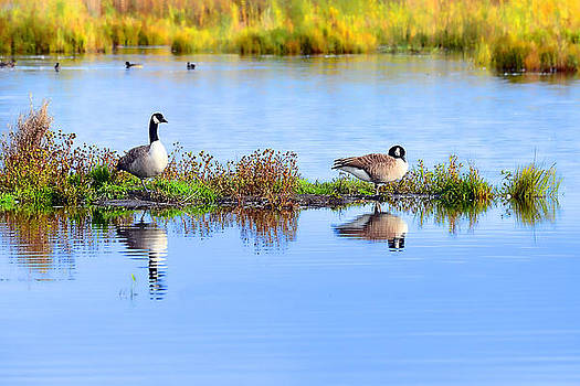 Canada Geese by Tage Persson