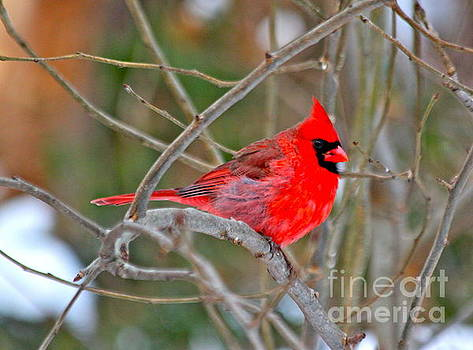 Cardinal by Jay Nodianos