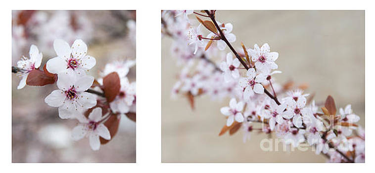 cherry blossom II by Hannes Cmarits