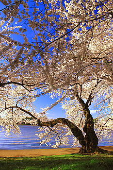 Cherry Blossoms by Leah Kimper
