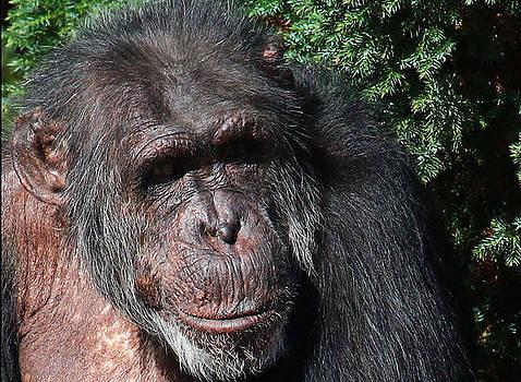 Chimp Study by Derek Sherwin