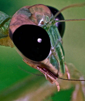 Chinese Mantis Macro Close UP #1 by Leslie Crotty
