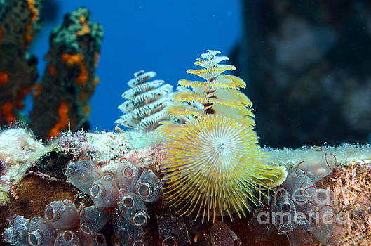 Christmas Tree Worms by Cynthia Cleveland