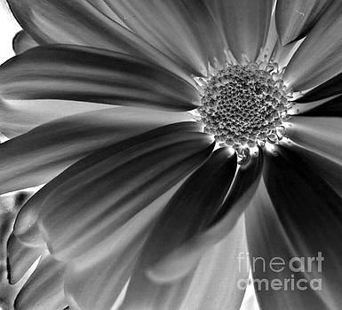 Chrysanthemum Negative by Ioanna Papanikolaou