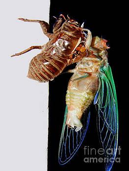 Cicada by Emily Kelley