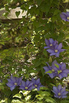 Clematis on a fence by Inspirational  Designs