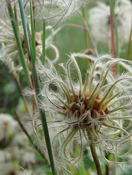 Clematis Seed by Pat Lopez