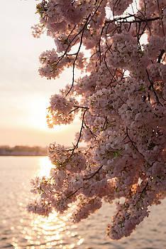 Close-up Of Cherry Blossom Petals by Jeff Mauritzen