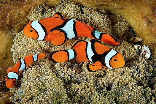 Clownfish Rest Inside Their Host by David Doubilet