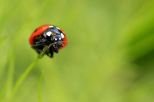 Coccinellidae  by Kyle Simpson