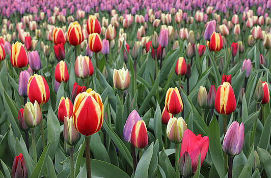 Colorful Tulips in Keukenhof Gardens by Kiril Stanchev