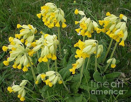 Cowslips Wildflowers. by Ann Fellows