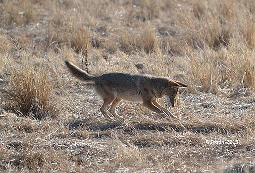 Coyote Hunting 2 by Jill Baum