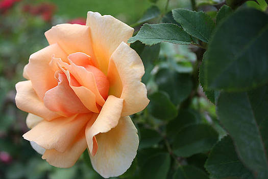 Cream Color Rose by Jessica Gale