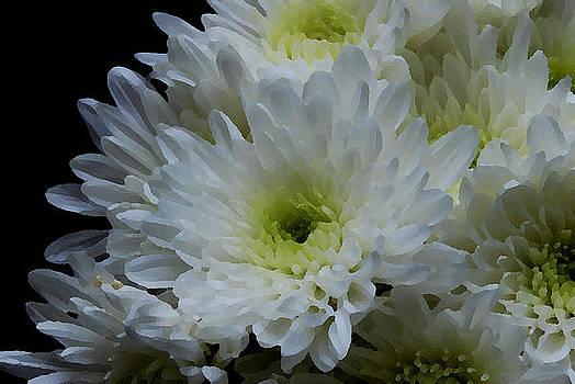 Crisantemos by Lorenzo Cassina