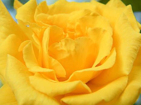 Crying Yellow Rose by Matthew Kay