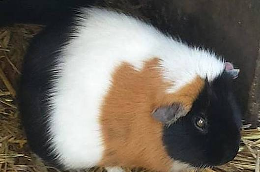 Cute Guinea Pig by Shaloo Webster