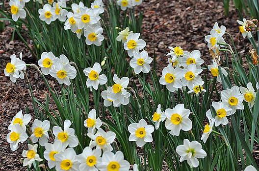 Daffodils by Dustin Bridges