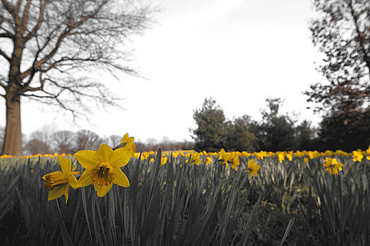 Daffodils by Leah Kimper