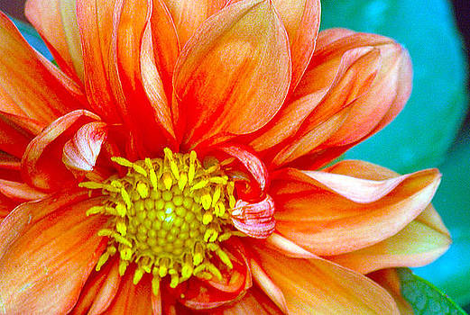 Dahlia by Tage Persson