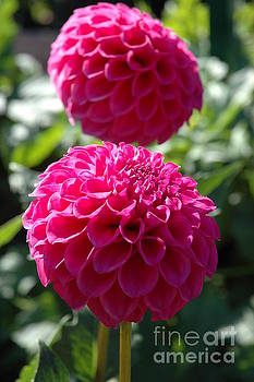 Dahlia XI by Christiane Hellner-OBrien