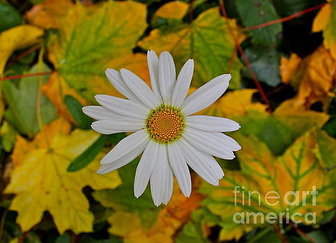 Daisy in the Leaves by Jay Nodianos